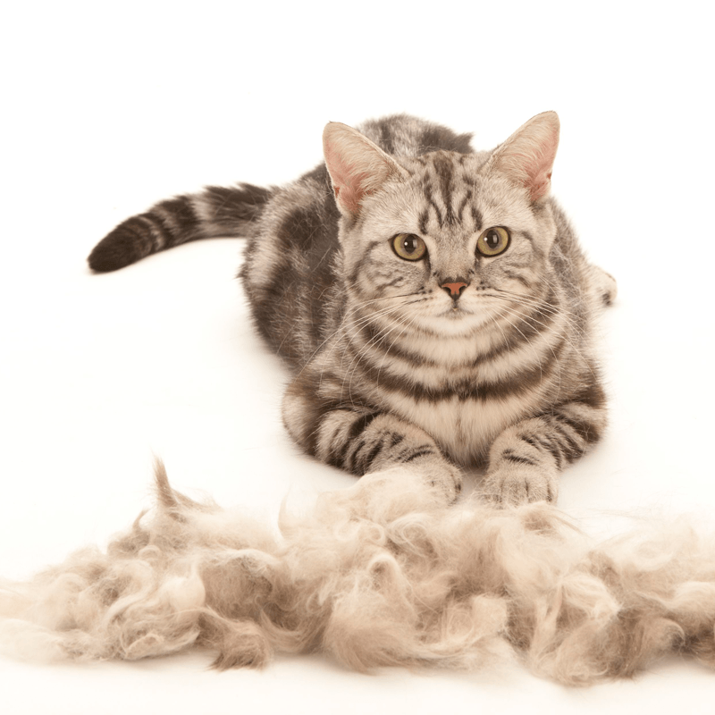 How to Stop Cat Shedding