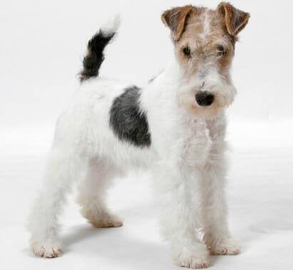 Wire Fox Terrier Grooming Pawsome Critters