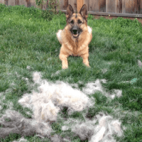 Stop German Shepherd Shedding