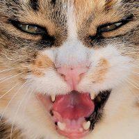 Feline Stomatitis Coconut Oil Benefits