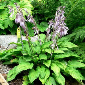 Hosta plant with purple flowers