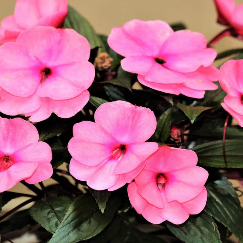 Are impatiens poisonous to cats? A close-up of pink impatiens