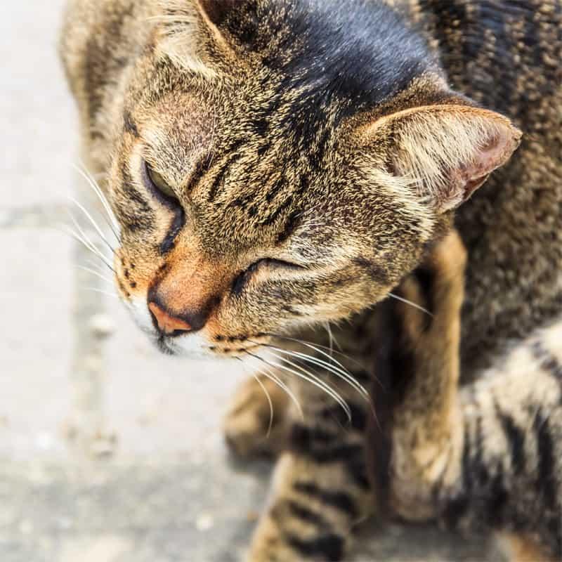 Best Cat Flea Treatment