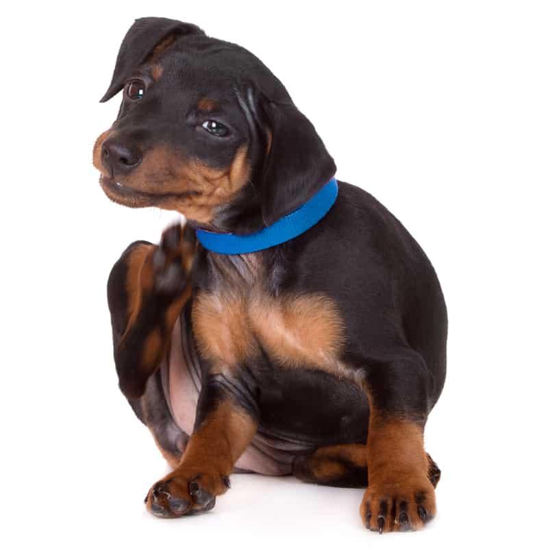 Do flea collars kill fleas already on dogs?