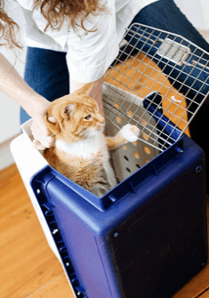 Lower your cat bottom-first into the carrier